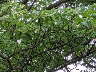 ミズキの木を飛ぶキアシドクガ.jpg