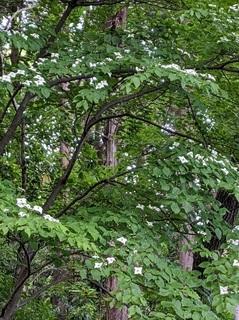 森のヤマボウシ.jpg