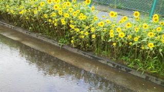 雨のひまわり.jpg